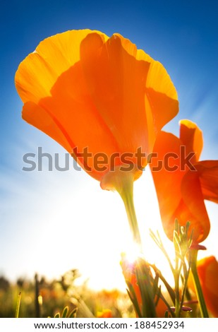 Springtime blooms of California Golden Poppies.  The sun is backlighting the poppies - stock photo