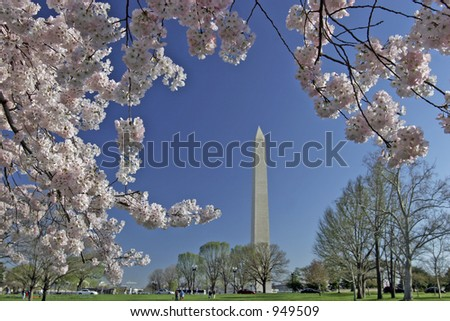 springtime cherry blossom blooming with washington monument in background