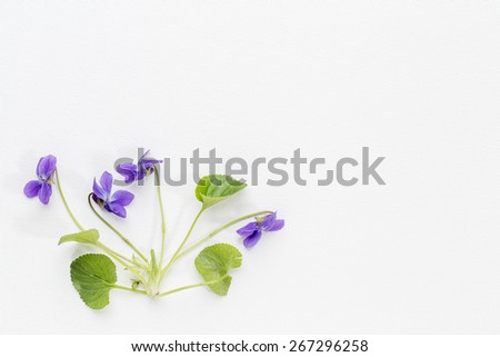 springtime concept -fresh viola flowers  and leaves on art canvas with a copy space