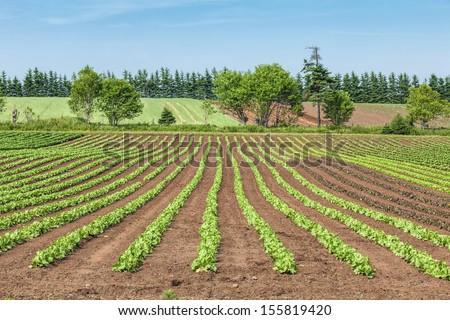 Springtime farm field of lettuce in rural Prince Edward Island, Canada. - stock photo