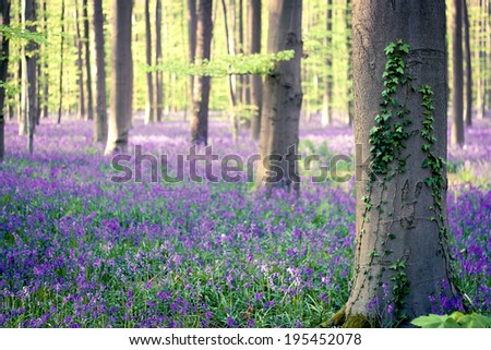 springtime in Hallerbos, beautiful belgian forest with beech trees, ivy and bluebells flowers, dreamy nature scenery - stock photo