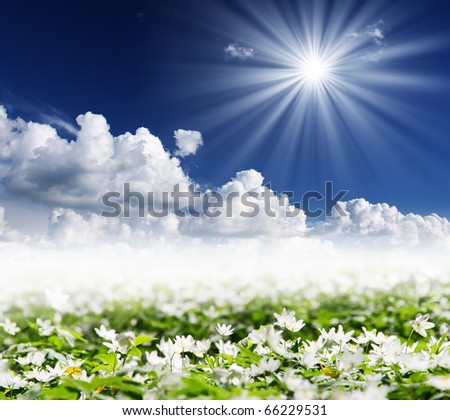 Springtime is the moment for this beautiful flower. Snowdrop anemone - stock photo