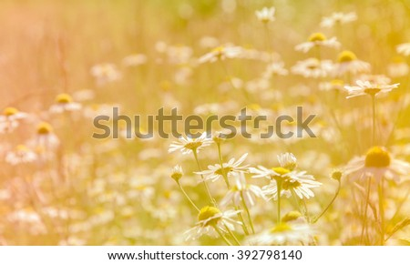springtime - pastel colored chamomile field in the sunshine. spring landscape. sunny day. warm dry calm weather.