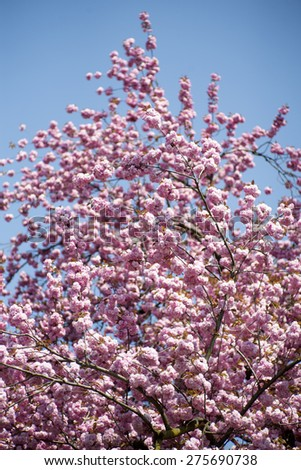Springtime pink japanese cherry blooming on daylight blue sky backgroung, vertical picture - stock photo