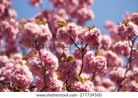 Springtime pink oriental cherry blossoming on daylight blue sky backgroung closeup, horizontal picture - stock photo
