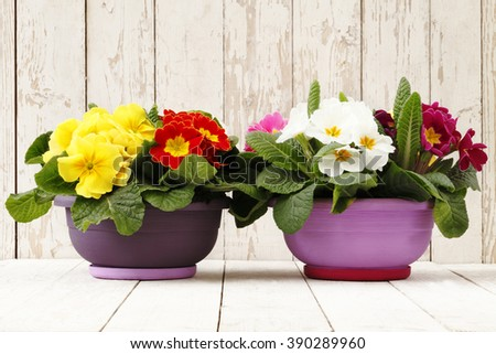 springtime, Primroses in flowers pots isolated on wooden white blank background - stock photo