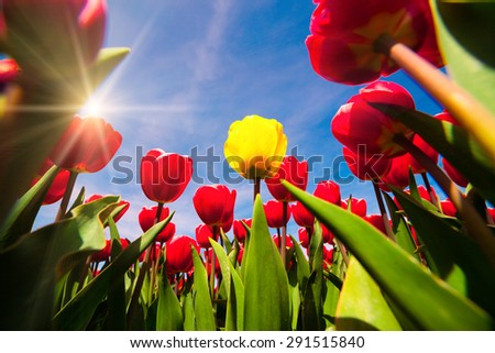 Springtime red and yellow tulips blossom on the Netherlands farm. Beautiful flowers on the blue sky background at the sunny morning. - stock photo
