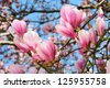 Springtime scene with sunlit magnolia blossoms over clear blue sky - stock photo