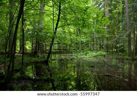 Springtime shady wet deciduous forest with standing water and dead trees partly declined lying in water - stock photo
