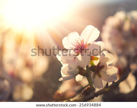 Springtime. Spring flowers blossom background. Beautiful nature scene with blooming tree and sun flare. Sunny day. Beautiful Orchard.  - stock photo