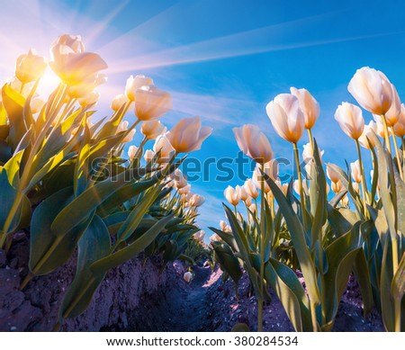 Springtime sunrise in the Netherlands. White flowers blooming on the tulips farm. Instagram toning. - stock photo