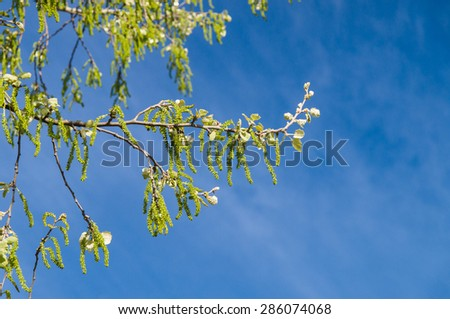 Springtime tree branch with bloom catkins against blue sky - stock photo