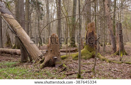 Springtime wet mixed forest with broken spruce trees and dead trees partly declined - stock photo