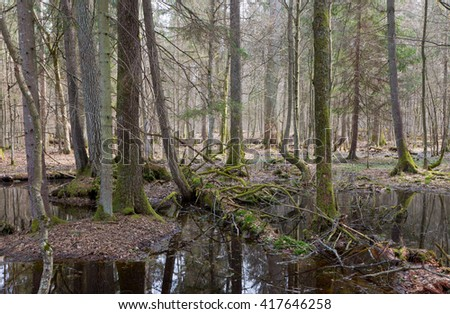 Springtime wet mixed forest with standing water and dead trees partly declined,Bialowieza forest,Poland,Europe - stock photo
