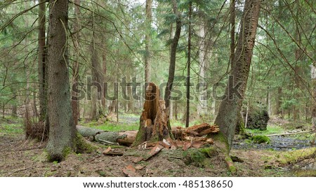 Springtime wetland stand of Bialowieza Forest with broken alder tree in foreground,Bialowieza Forest,Poland,Europe