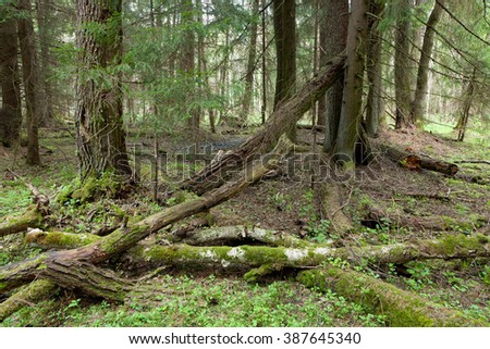Springtime wetland stand of Bialowieza Forest with broken birch trees in foreground,Bialowieza Forest,Poland,Europe - stock photo