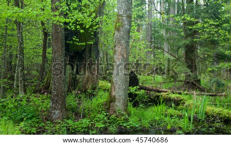 Springtime wetland stand with old tree stump among