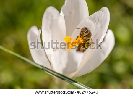 Springtime with crocus and bee - stock photo