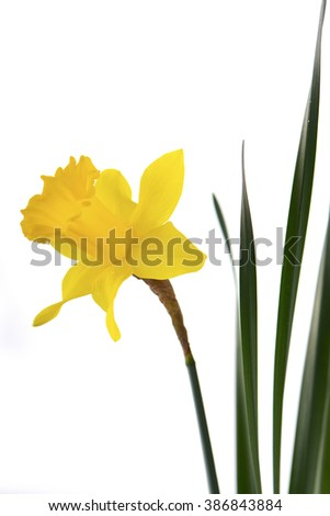 Springtime Yellow Daffodil on white background.