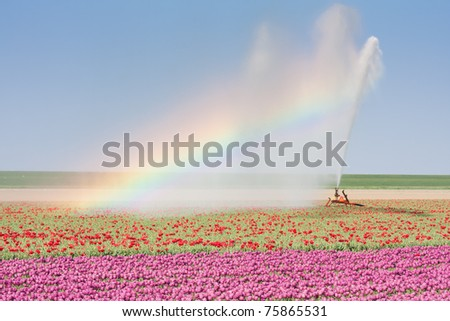 Sprinkler installation in a Dutch tulip field with a beautiful Rainbow - stock photo