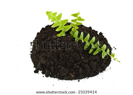 sprout  ferns in soil