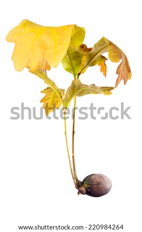 sprout oak grows from an acorn - stock photo