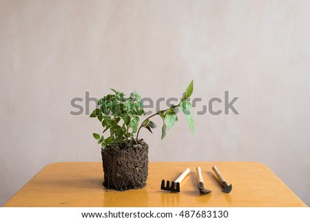 Sprout of basil on a wooden table