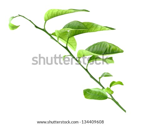 Sprout of citrus-tree with green leaf. Isolated on white background. Close-up. Studio photography. - stock photo