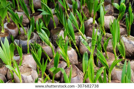 Sprout of coconut  - stock photo