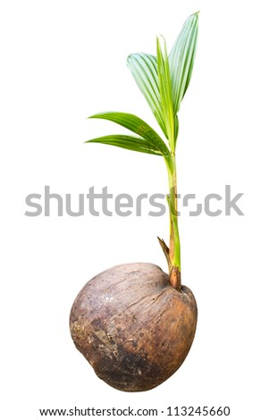 Sprout of coconut tree isolate
