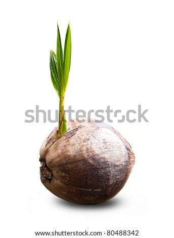 Sprout of coconut tree isolate - stock photo