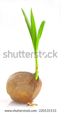 Sprout of coconut tree isolated on white background