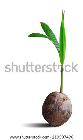 Sprout of coconut tree isolated on white background, clipping path. - stock photo