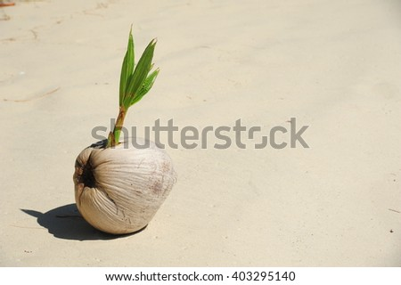 Sprout of coconut tree on sand - stock photo