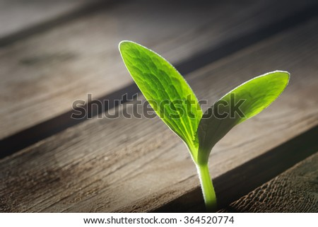 sprout sprouting across the wooden floor - stock photo