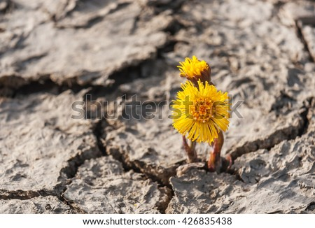 sprouted foalfoot flower from cracked soil