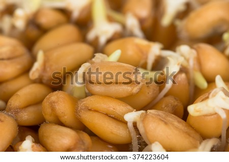 Sprouted grain ripe ecological organic wheat background