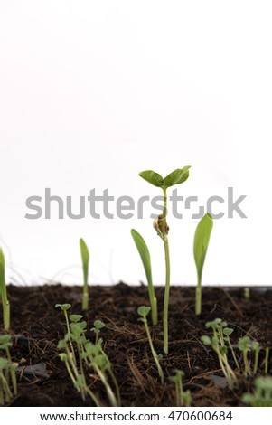 Sprouted growing small bottle gourd and young corn plant in farm,agriculture