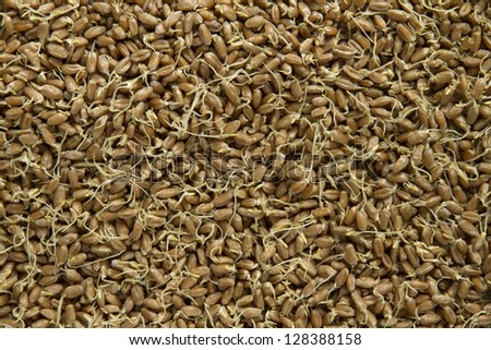 sprouted wheat as background