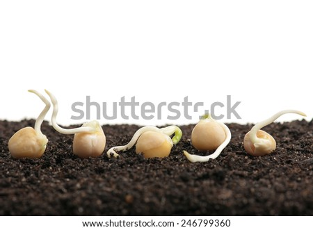 Sprouted yellow peas on a heap of organic soil over white background - stock photo
