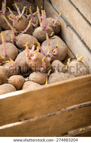 Sprouting organic potatoes ready for planting - stock photo