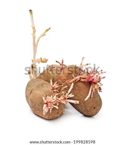 Sprouting potato isolated on white background - stock photo