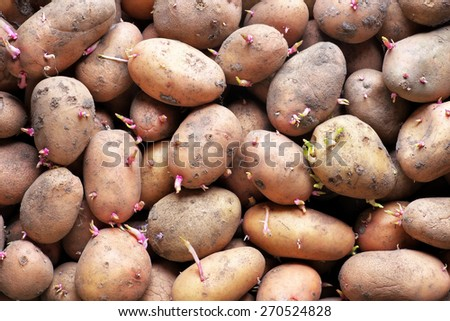 Sprouting seed potatoes ready for planting background. Background from potatoes. - stock photo