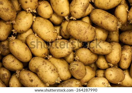 Sprouting seed potatoes ready for planting background/ Potatoes - stock photo