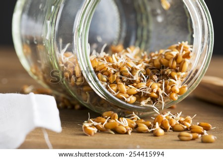 Sprouting whole wheat spilling from a sprouting jar. - stock photo