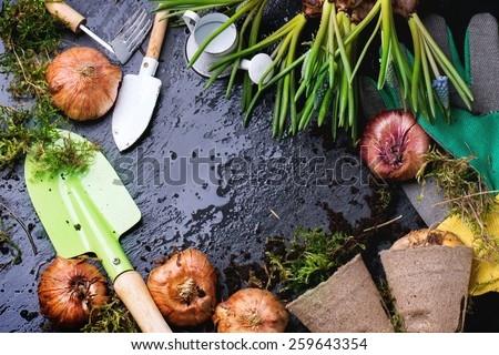 Sprouts and flower bulbs ready for planting and garden tools over wet black background. Top view. - stock photo