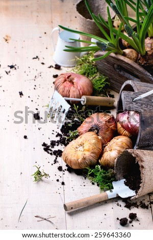 Sprouts and flower bulbs ready for planting and garden tools over wooden background. Top view. - stock photo