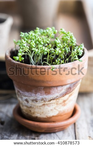 Sprouts cress salad in a clay pot