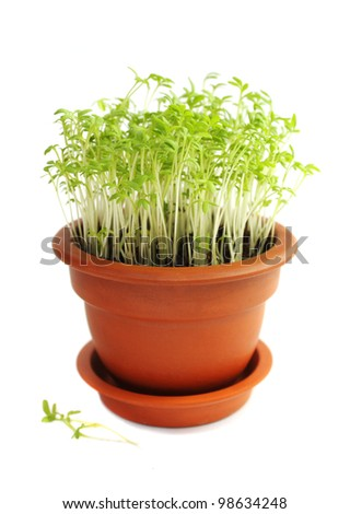 Sprouts of cress salad in ceramic pot on a white background