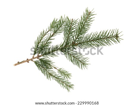Spruce branch isolated on white background. Clipping path is included - stock photo